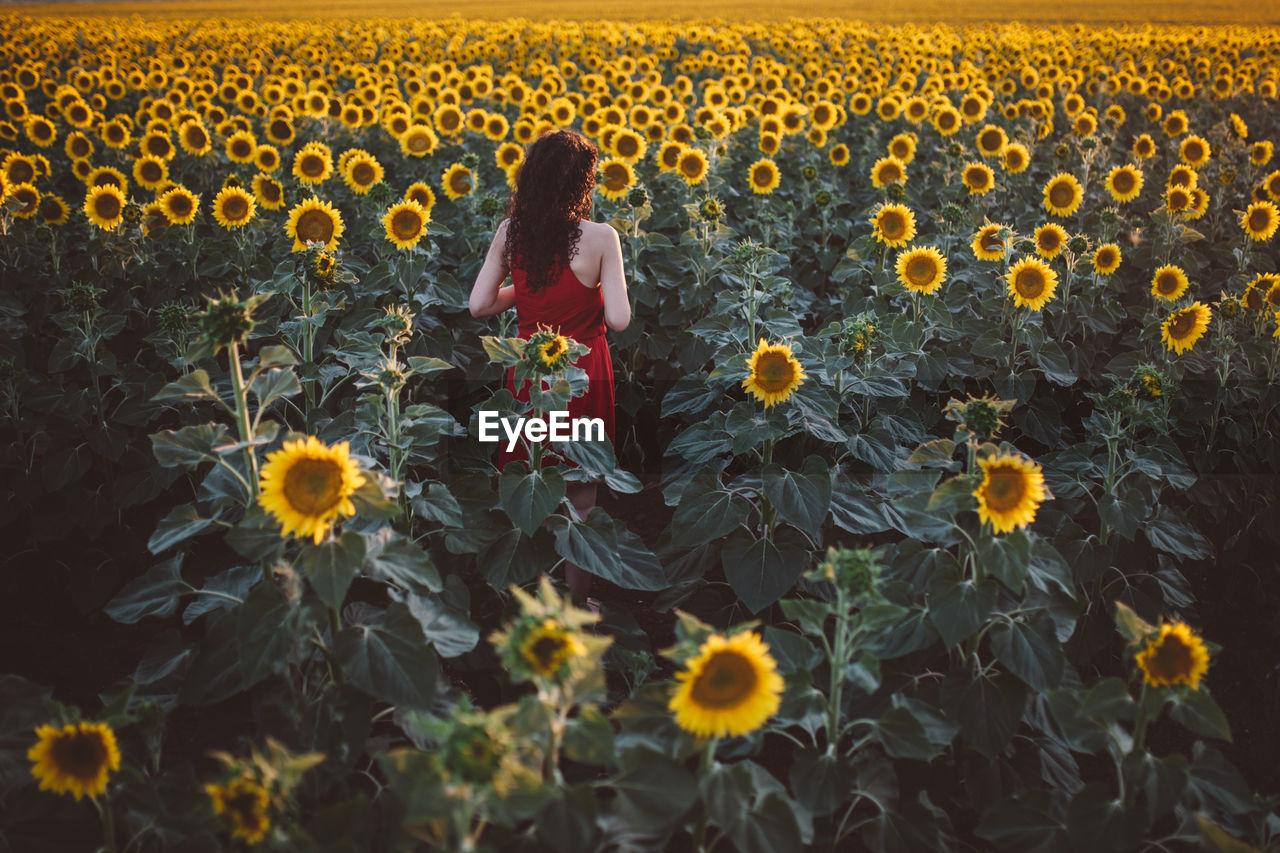 Woman Walking On Sunflower Field