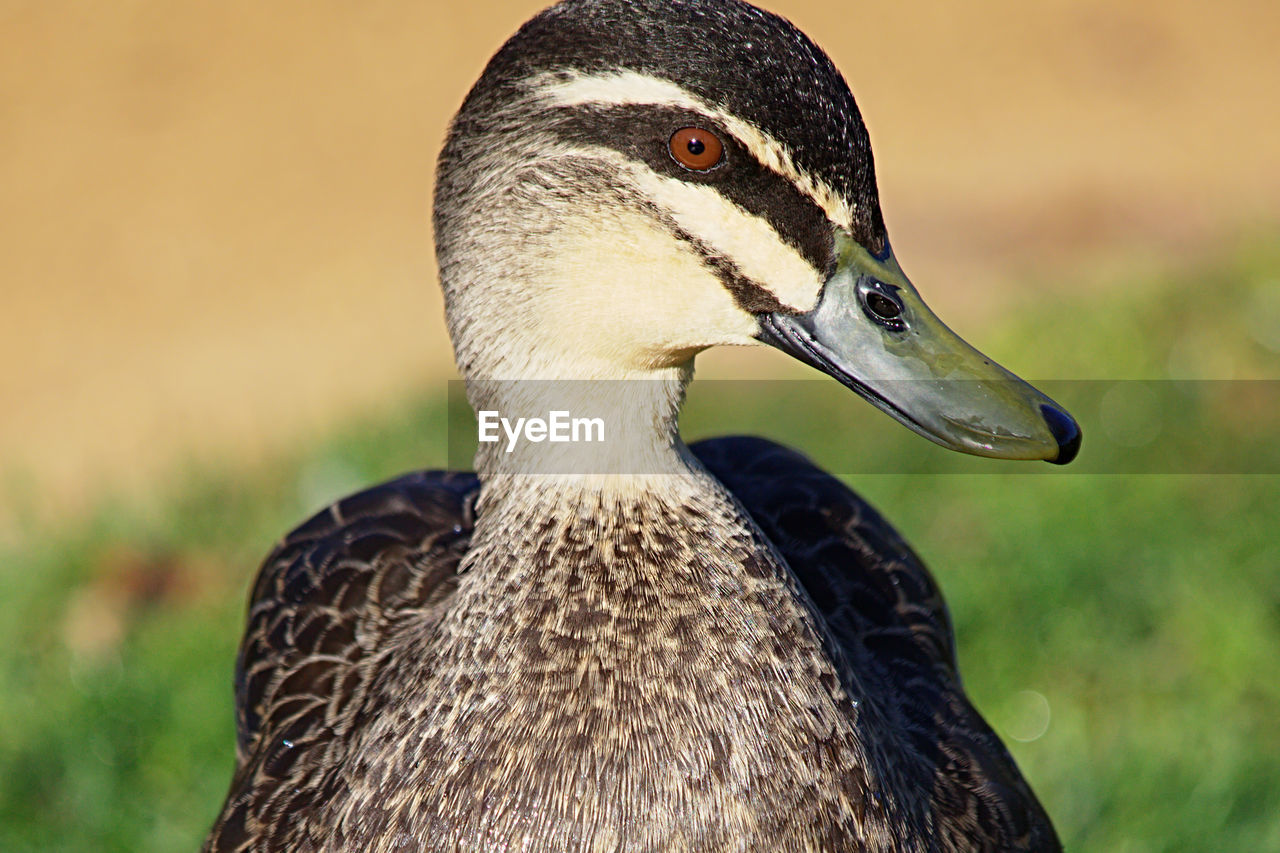 Close-Up Of Duck