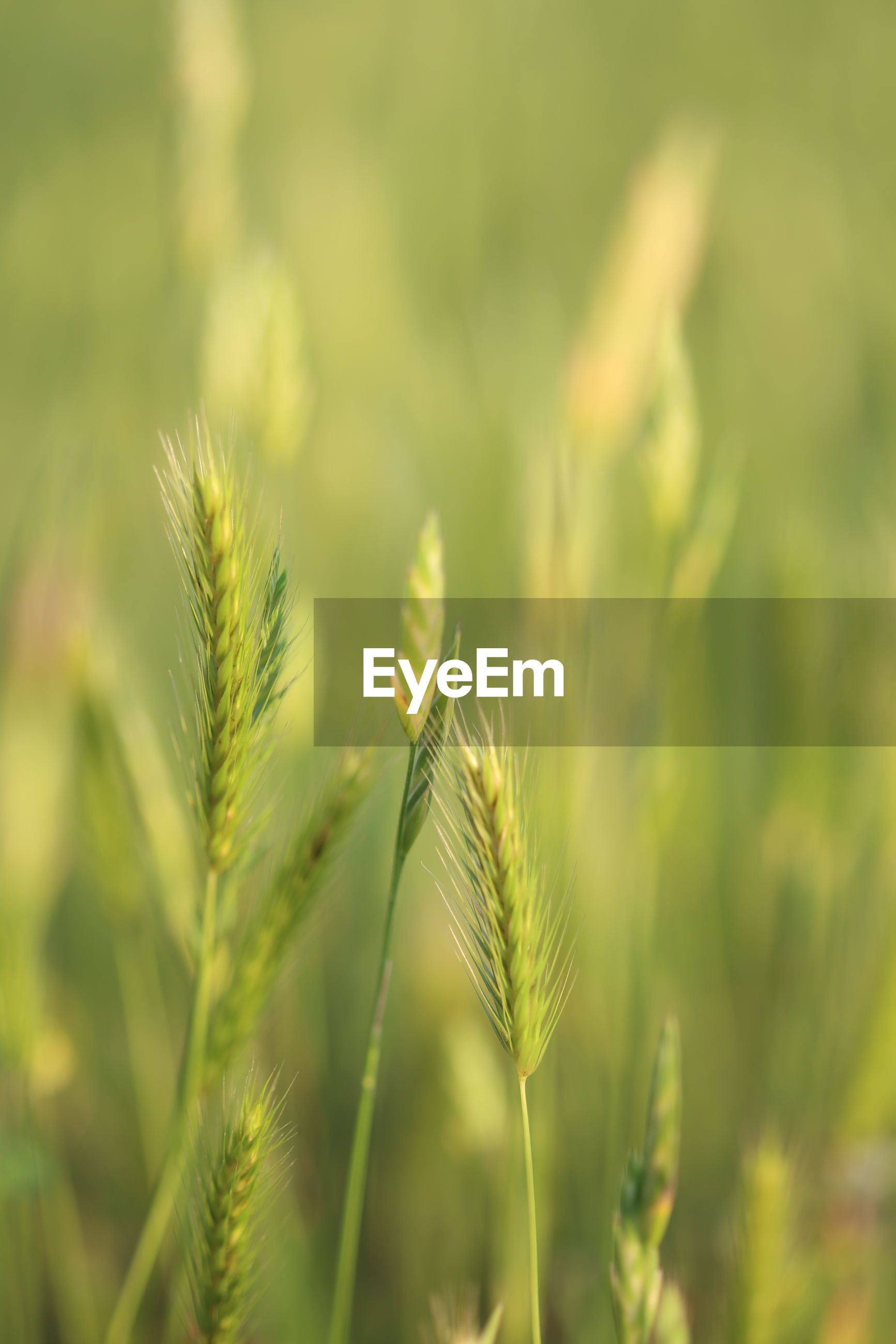 CLOSE-UP OF WHEAT GROWING IN GRASS