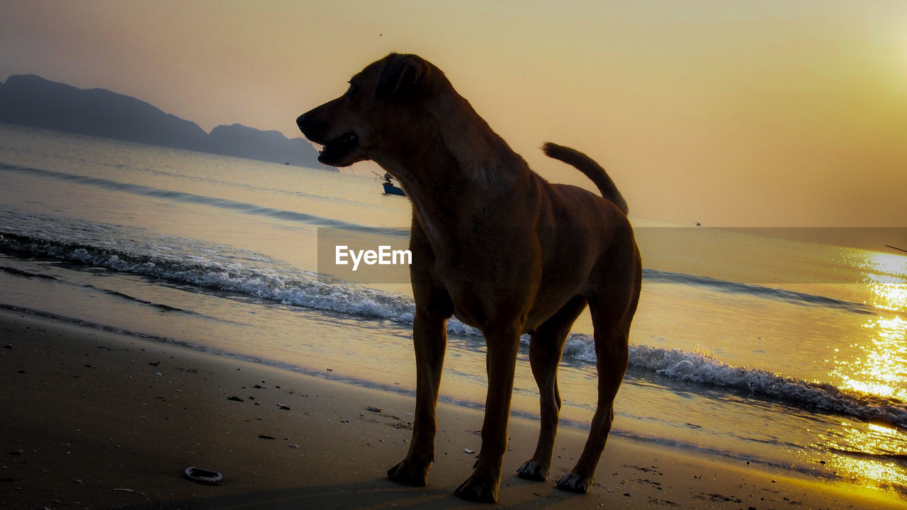 sea, water, sunset, beach, animal themes, domestic animals, nature, one animal, mammal, horizon over water, dog, shore, sand, beauty in nature, scenics, outdoors, sky, pets, standing, no people, wave, day