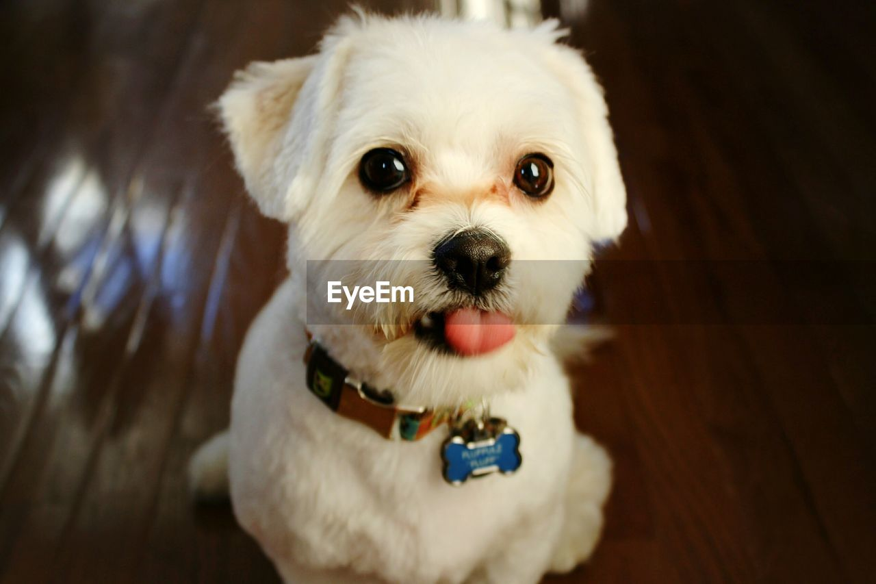 dog, canine, domestic animals, mammal, domestic, pets, one animal, animal themes, looking at camera, animal, portrait, vertebrate, white color, lap dog, no people, indoors, high angle view, small, young animal, focus on foreground