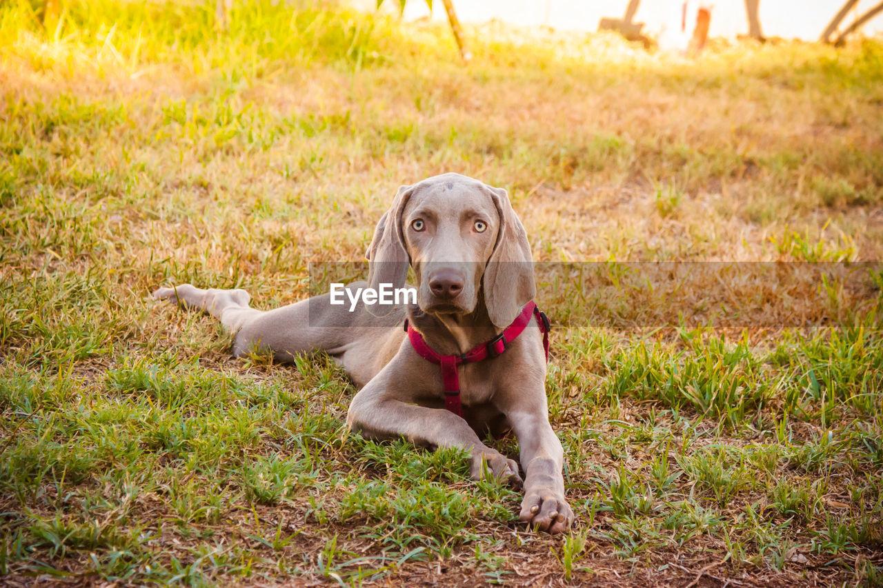 Portrait Of Dog Sitting On Grassy Field