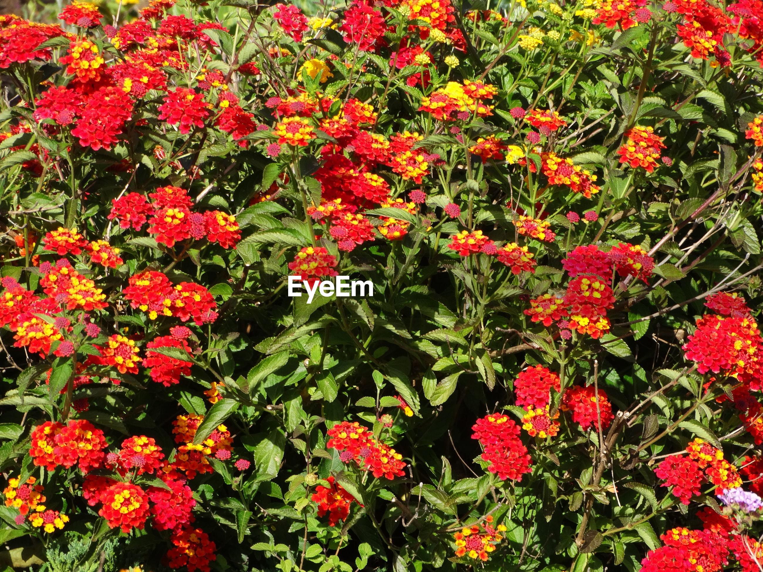 RED FLOWERS IN BLOOM