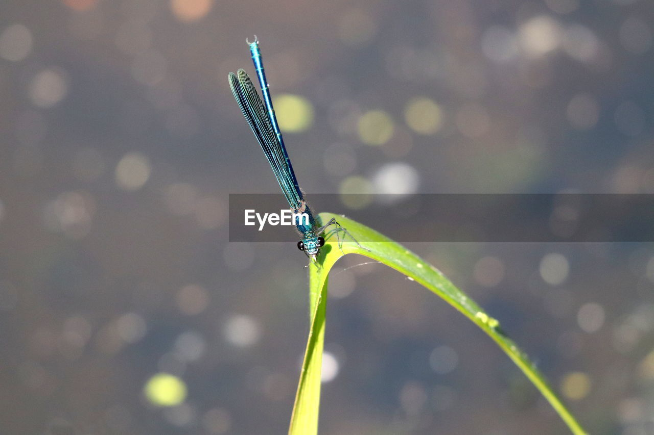 one animal, invertebrate, insect, animals in the wild, animal wildlife, animal themes, focus on foreground, close-up, green color, animal, day, damselfly, nature, no people, plant, sunlight, outdoors, water, animal wing, drop, blade of grass