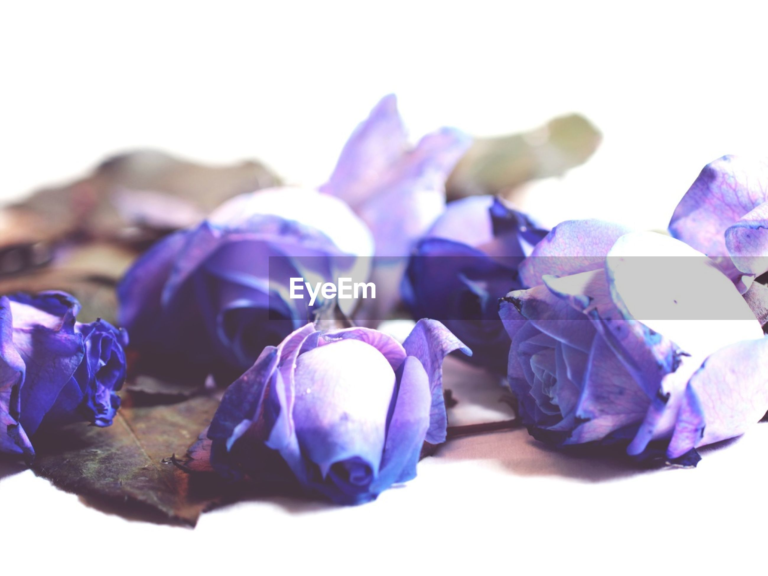 purple, blue, close-up, flower, fragility, petal, still life, studio shot, flower head, freshness, no people, nature, beauty in nature, copy space, focus on foreground, multi colored, white background, plant, selective focus, day