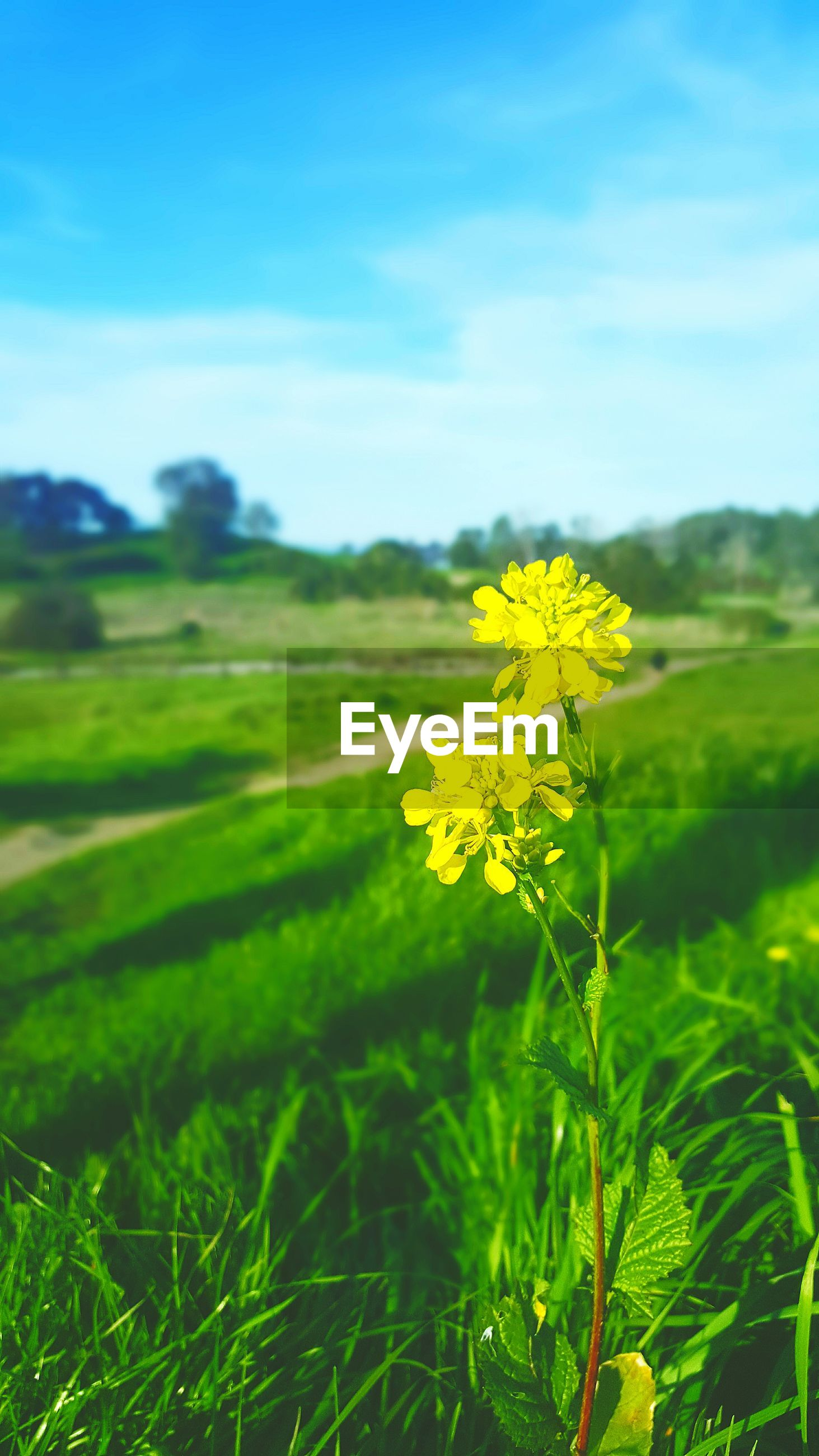 Yellow flowers blooming in field