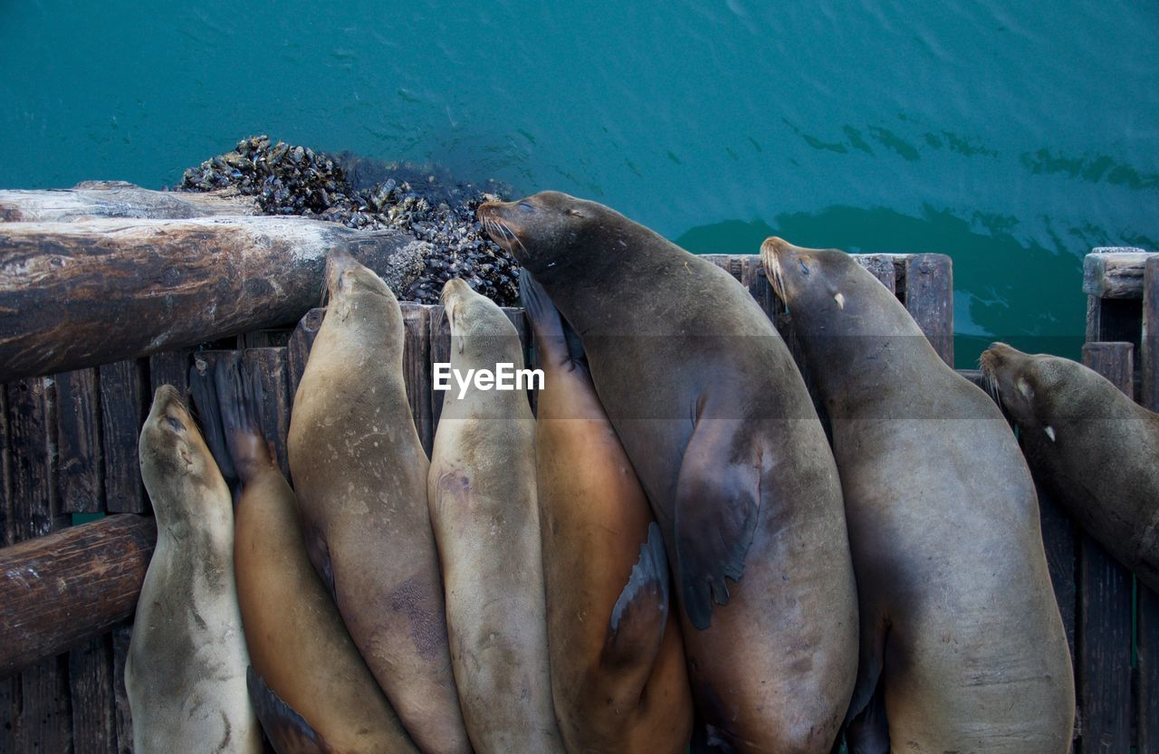 Directly Above View Of Sea Lion Family Sleeping On Pier In Sea