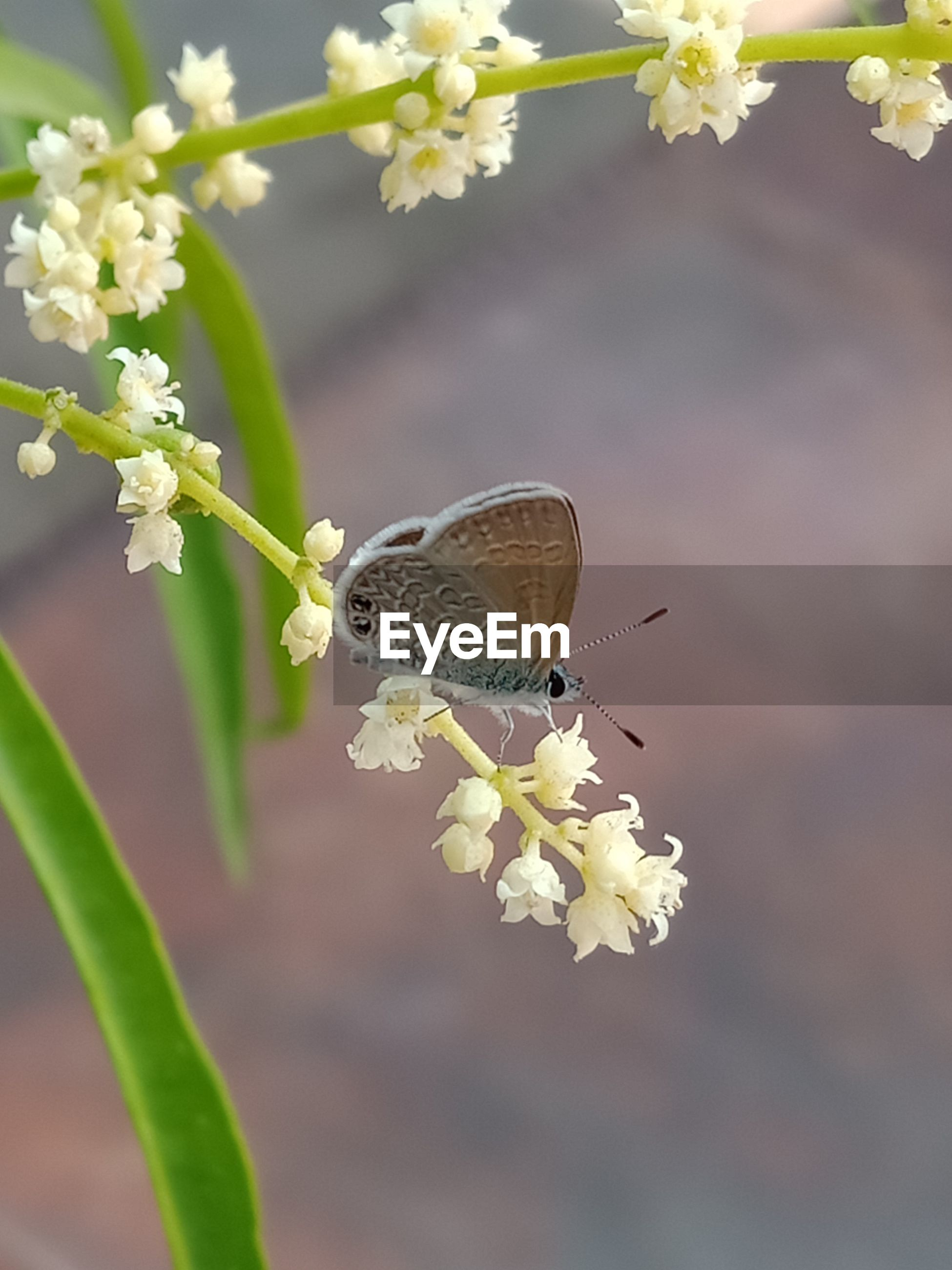 Tropical butterfly that likes small flowers and green leaves