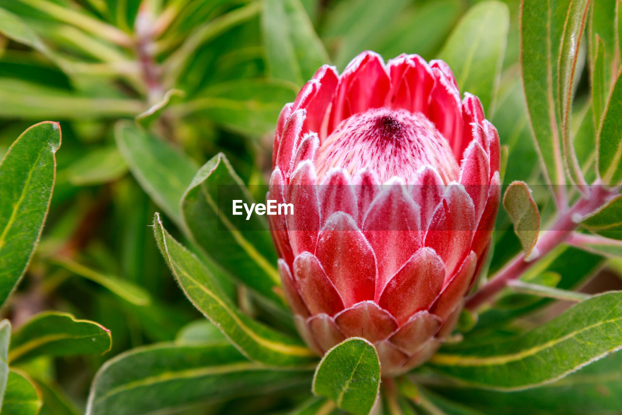 plant, beauty in nature, growth, flower, flowering plant, freshness, close-up, vulnerability, fragility, petal, plant part, leaf, pink color, flower head, inflorescence, nature, red, no people, day, bud, springtime, sepal