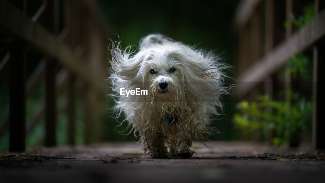 one animal, animal themes, canine, domestic, dog, pets, mammal, domestic animals, animal, white color, portrait, hair, looking at camera, animal hair, no people, vertebrate, selective focus, day, standing, focus on foreground, animal head