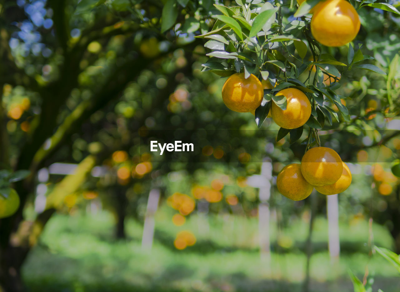 CLOSE-UP OF FRESH FRUITS ON TREE