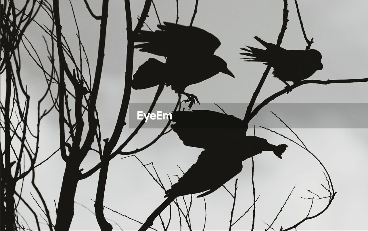 Low angle view of silhouette birds perching on bare tree against sky at dusk