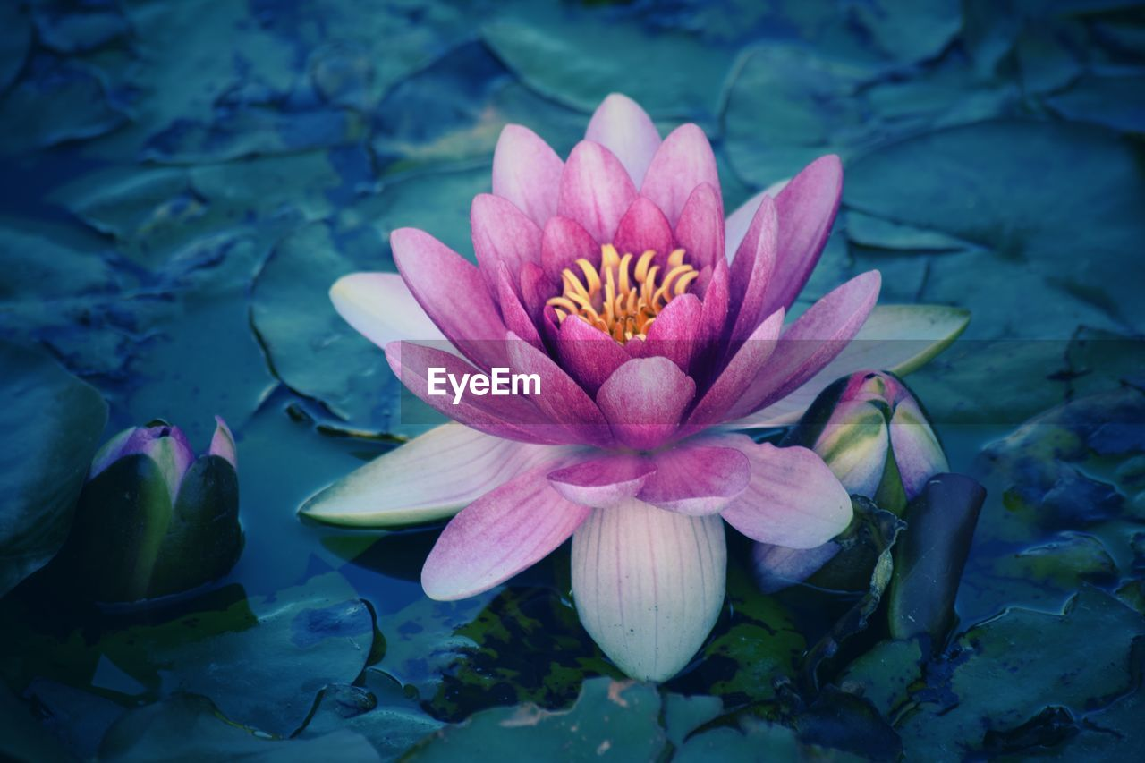 flowering plant, flower, petal, beauty in nature, vulnerability, fragility, freshness, plant, flower head, inflorescence, growth, close-up, nature, water lily, pink color, water, leaf, lake, no people, pollen, outdoors, lotus water lily, floating on water