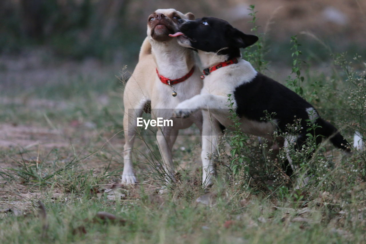 mammal, pets, dog, animal themes, domestic, domestic animals, canine, animal, one animal, vertebrate, field, land, grass, plant, day, nature, selective focus, collar, pet collar, no people, aggression, jack russell terrier