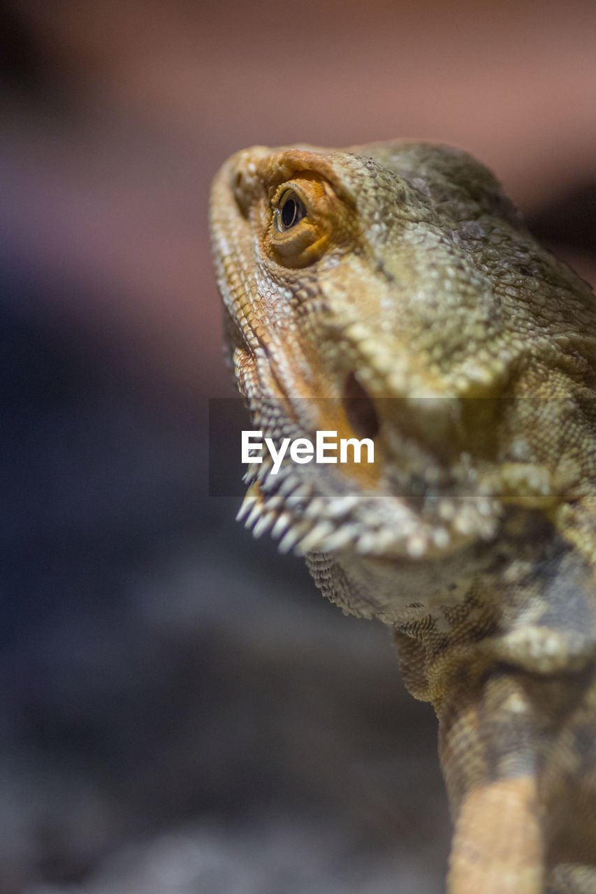 animal themes, one animal, animal, reptile, lizard, animal wildlife, vertebrate, animals in the wild, bearded dragon, close-up, animal head, animal body part, no people, focus on foreground, looking, day, nature, outdoors, selective focus, looking away, animal scale, animal eye, iguana