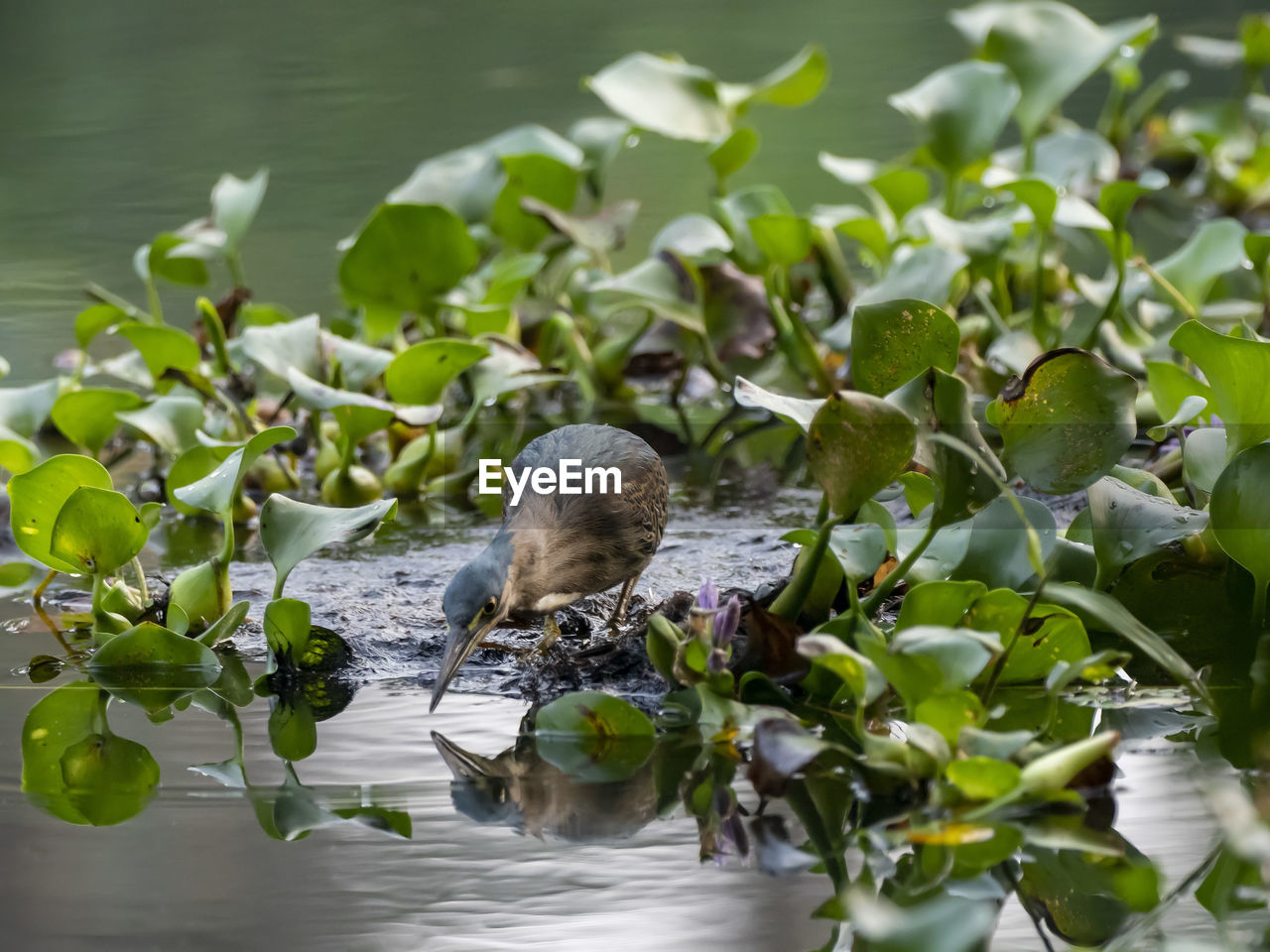 water, plant, leaf, plant part, lake, nature, animals in the wild, animal themes, animal, animal wildlife, green color, vertebrate, one animal, beauty in nature, growth, day, no people, bird, reflection, floating on water, outdoors, leaves