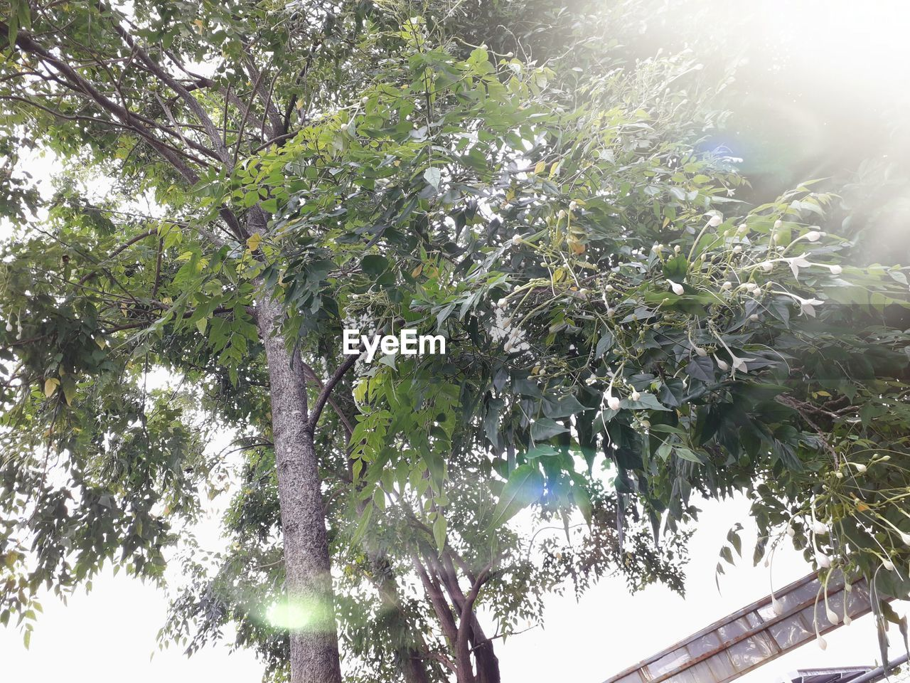 plant, tree, growth, low angle view, nature, beauty in nature, day, green color, no people, tranquility, sky, leaf, branch, sunlight, plant part, outdoors, sunbeam, lens flare, freshness, sunny
