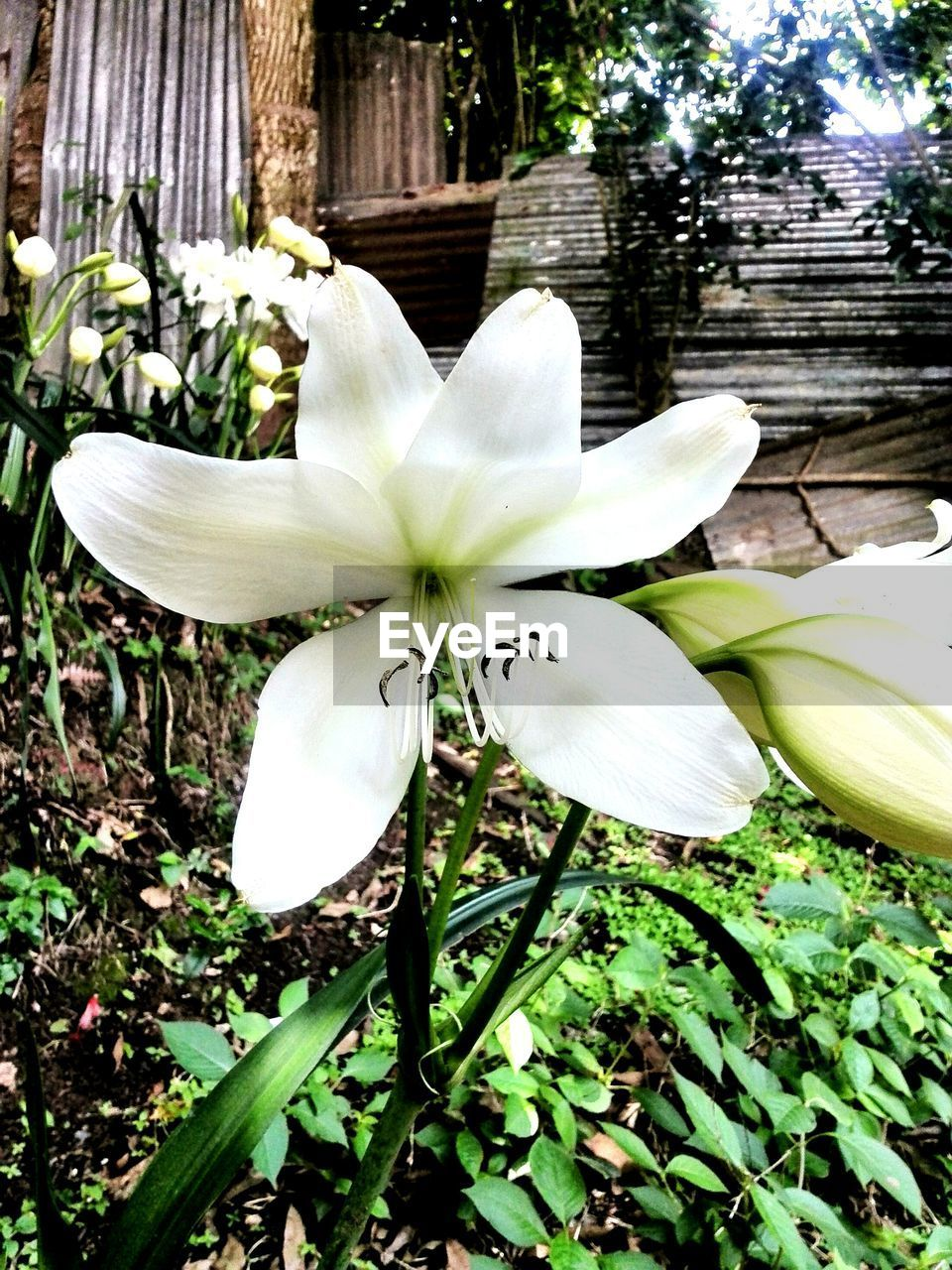 flower, petal, nature, fragility, white color, growth, beauty in nature, freshness, no people, flower head, day, leaf, plant, outdoors, close-up, blooming