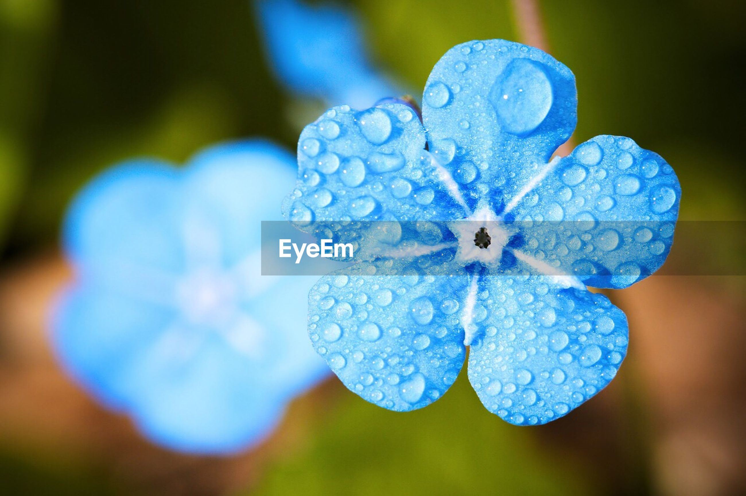 drop, blue, nature, focus on foreground, wet, close-up, water, outdoors, fragility, day, beauty in nature, freshness, no people, growth, leaf, flower, flower head, periwinkle