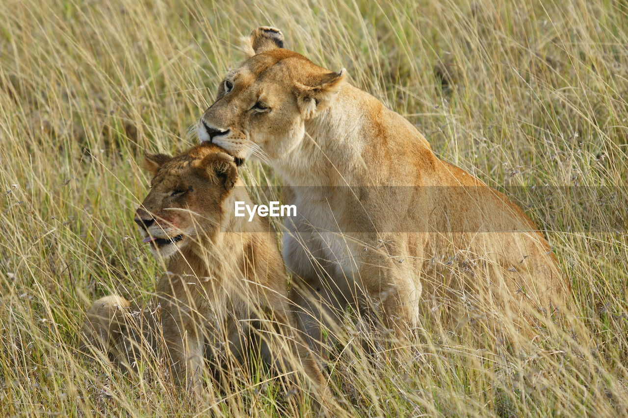 Lioness and cub on grassy field