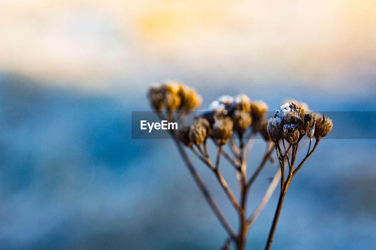 Close-up of frozen cotton plant