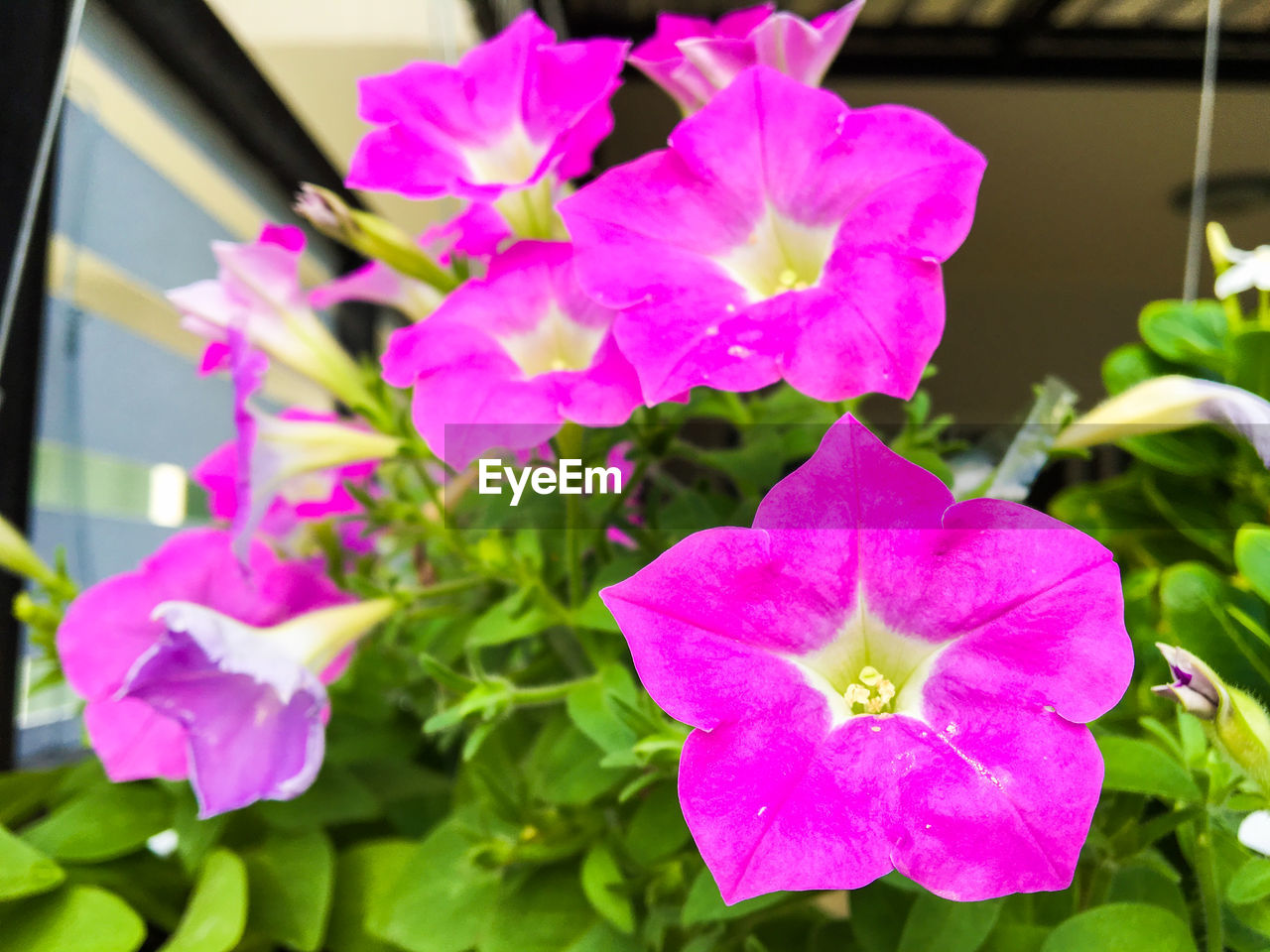 flower, growth, petal, fragility, beauty in nature, flower head, freshness, pink color, nature, plant, no people, blooming, day, outdoors, close-up, focus on foreground, petunia, periwinkle
