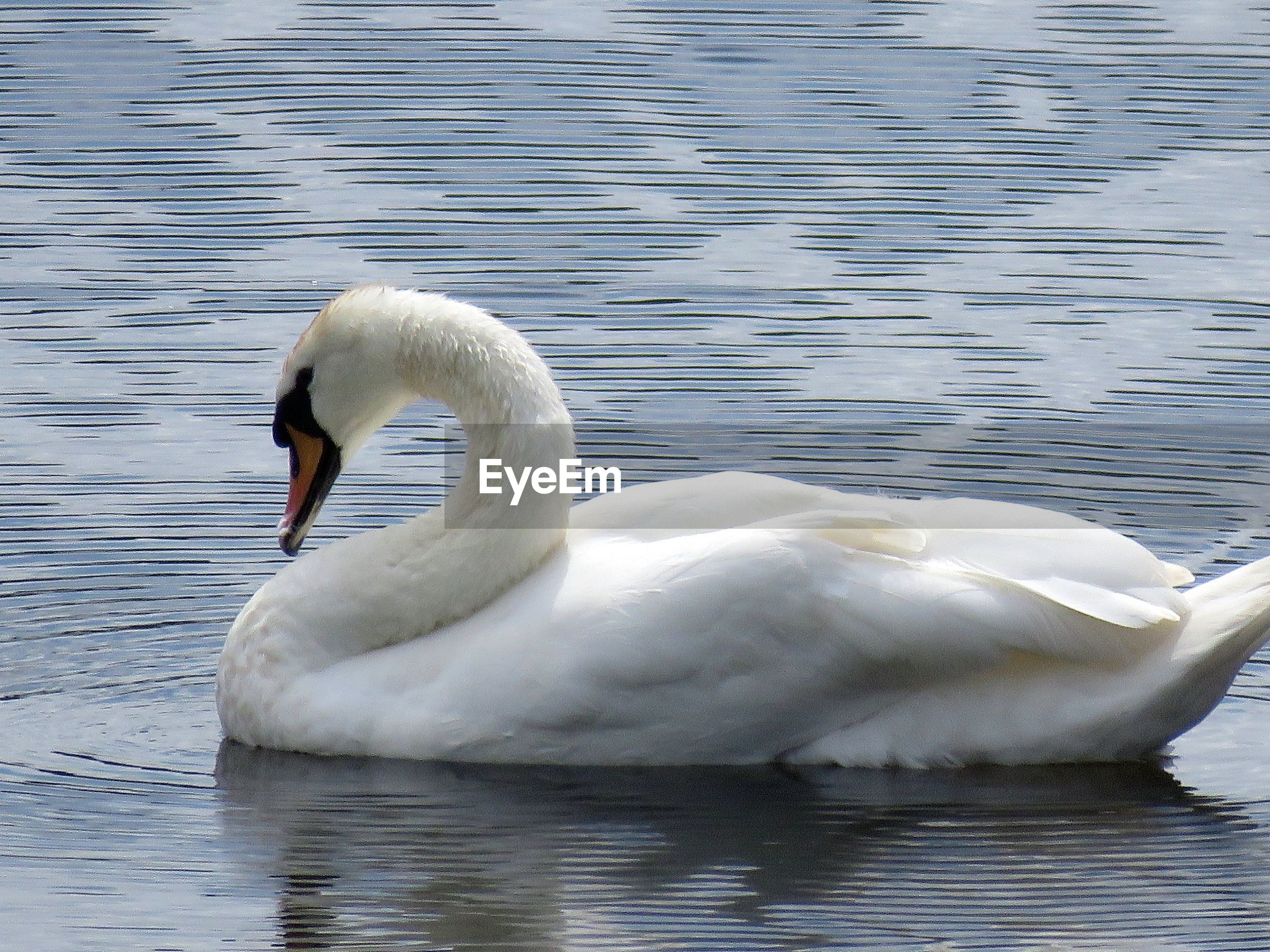 Side view of swan swimming on lake