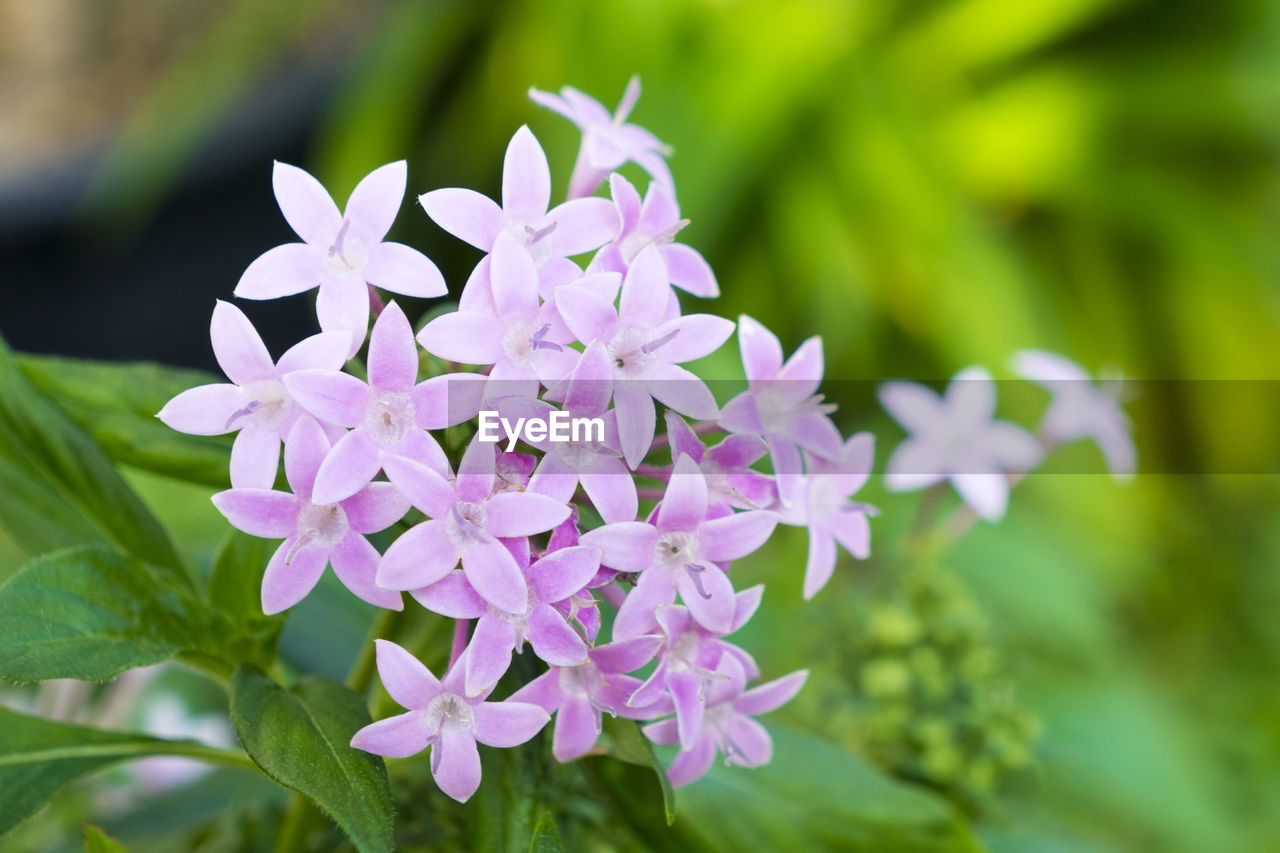flower, flowering plant, plant, vulnerability, fragility, beauty in nature, freshness, petal, growth, close-up, focus on foreground, flower head, inflorescence, day, pink color, purple, nature, plant part, botany, leaf, outdoors, bunch of flowers, springtime, lilac