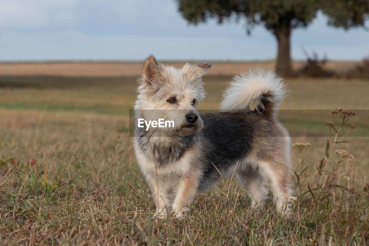 mammal, domestic, pets, domestic animals, animal themes, canine, dog, animal, vertebrate, one animal, field, land, plant, nature, grass, no people, day, focus on foreground, pomeranian