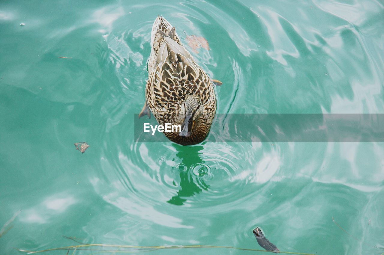 HIGH ANGLE VIEW OF TURTLE IN WATER