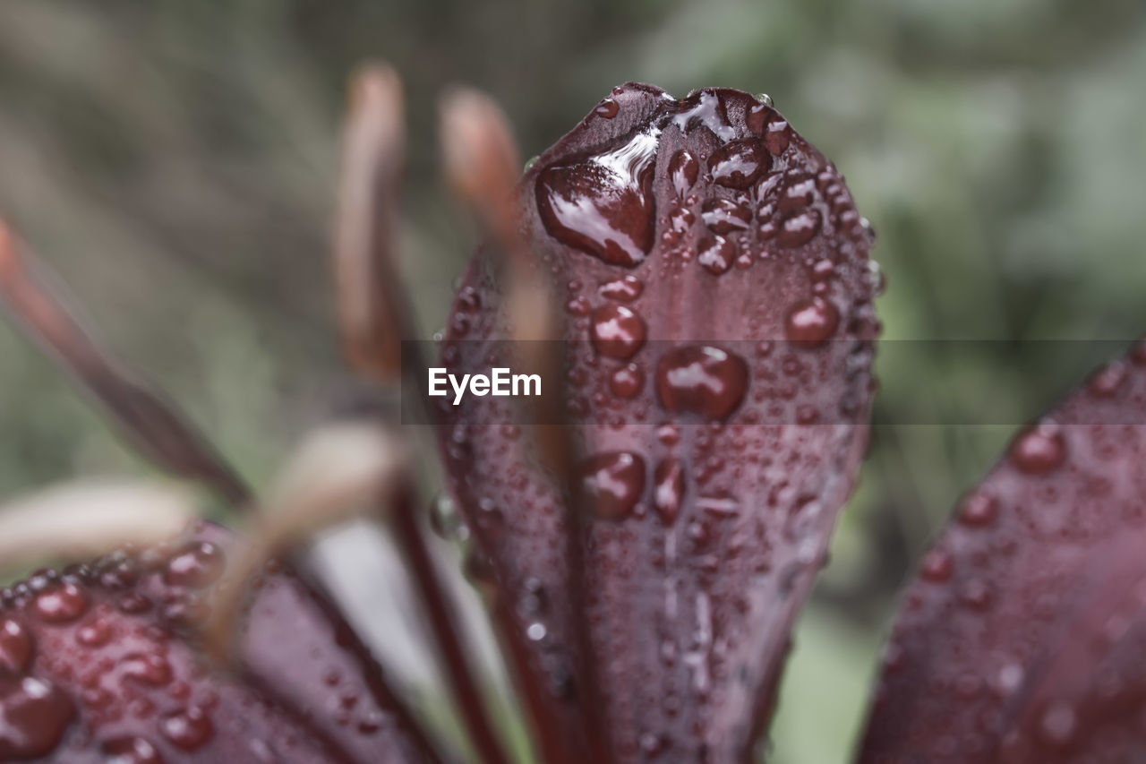 drop, wet, close-up, nature, water, growth, day, no people, outdoors, focus on foreground, beauty in nature, raindrop, red, leaf, plant, fragility, freshness
