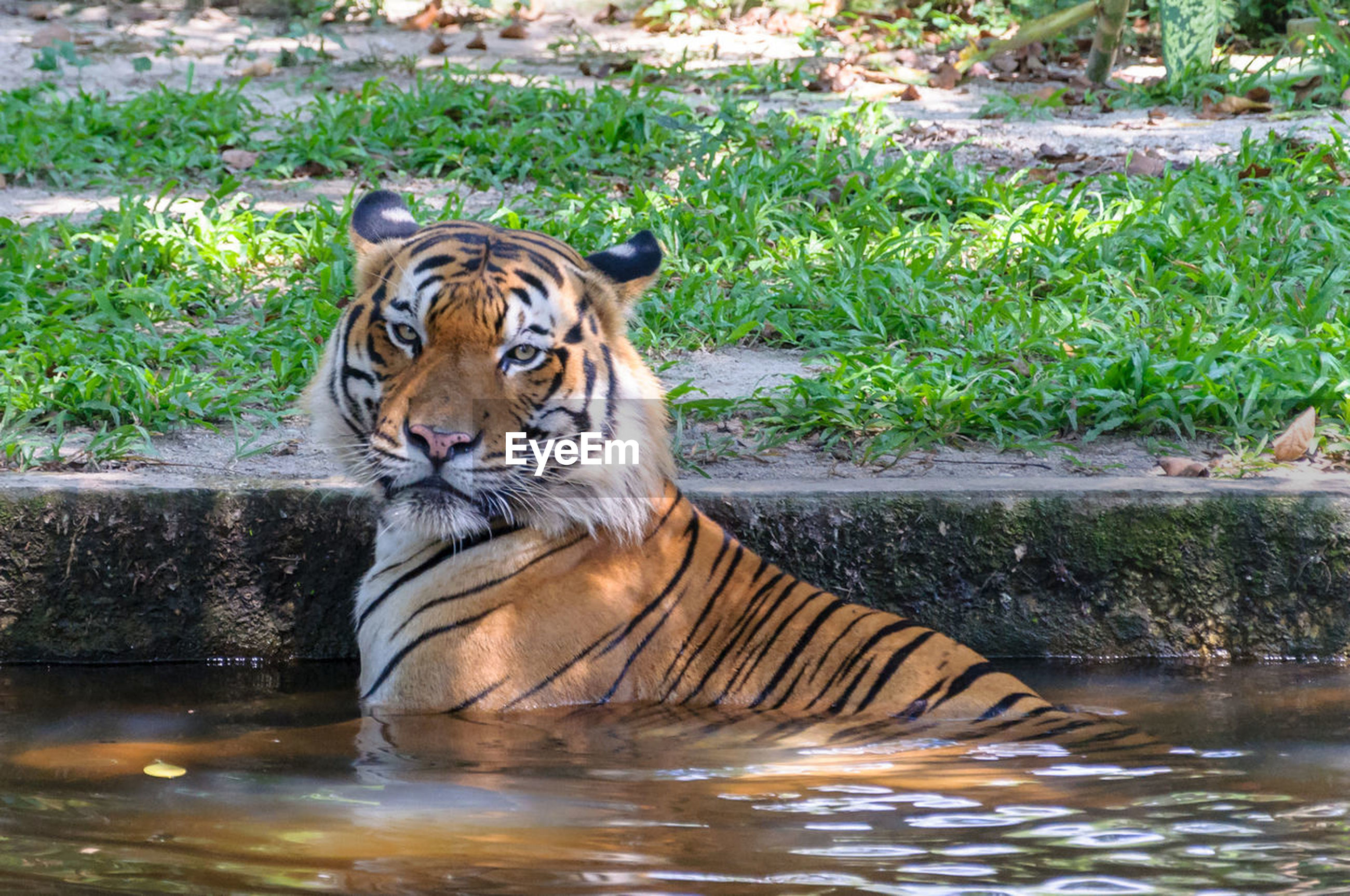 animals in the wild, tiger, one animal, animal themes, water, day, outdoors, animal wildlife, nature, mammal, relaxation, no people