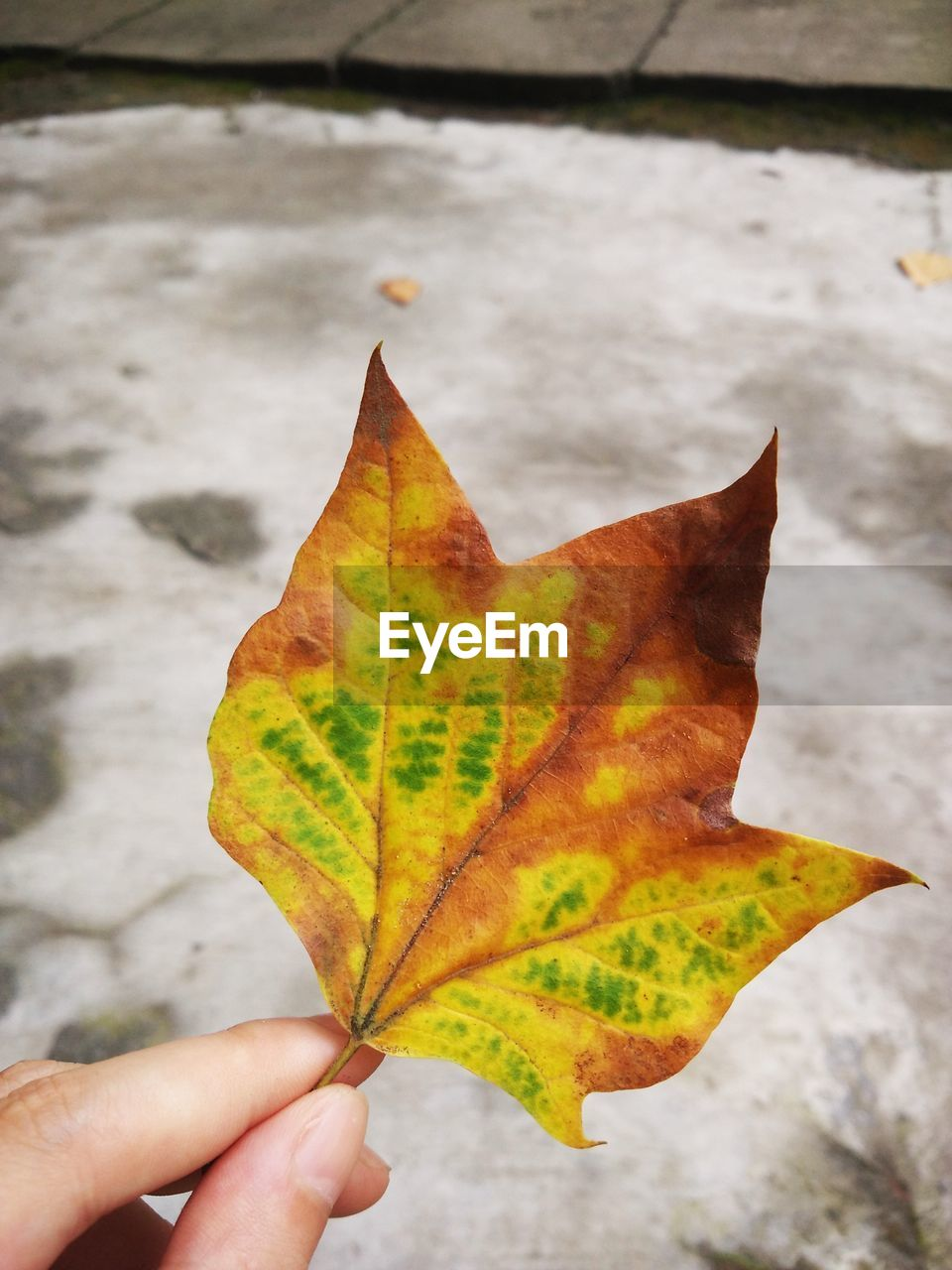 Cropped image of hand holding dry leaf