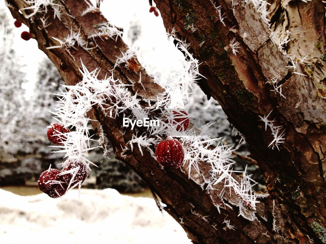 winter, cold temperature, snow, weather, frozen, nature, close-up, outdoors, day, ice, no people, tree, beauty in nature, focus on foreground, red, branch