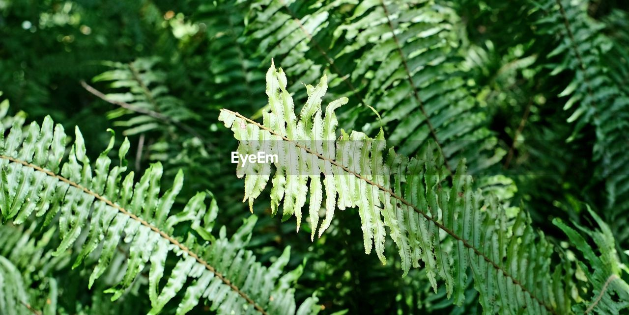 green color, plant, leaf, plant part, growth, nature, close-up, focus on foreground, no people, day, tree, beauty in nature, outdoors, selective focus, fern, tranquility, leaf vein, fragility, sunlight, green, leaves, coniferous tree