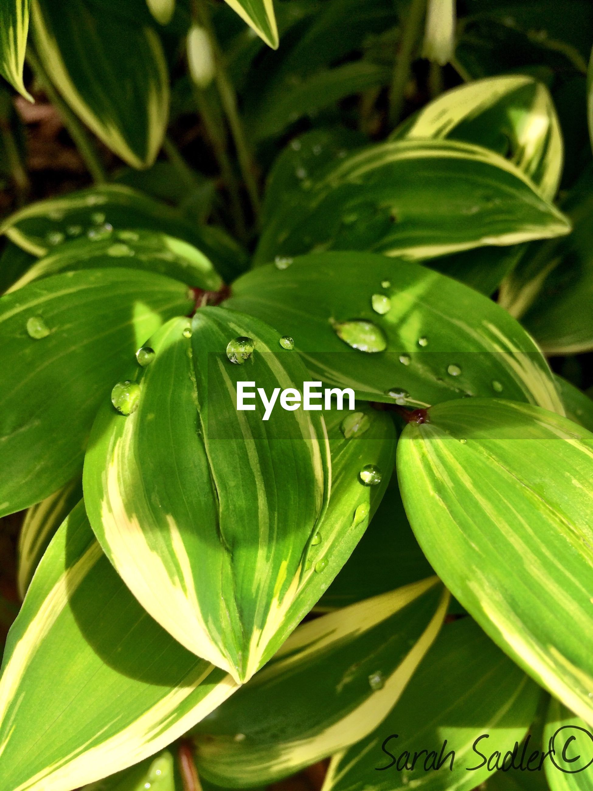 leaf, green color, growth, plant, freshness, water, close-up, nature, drop, beauty in nature, leaves, wet, green, leaf vein, high angle view, outdoors, day, no people, fragility, full frame
