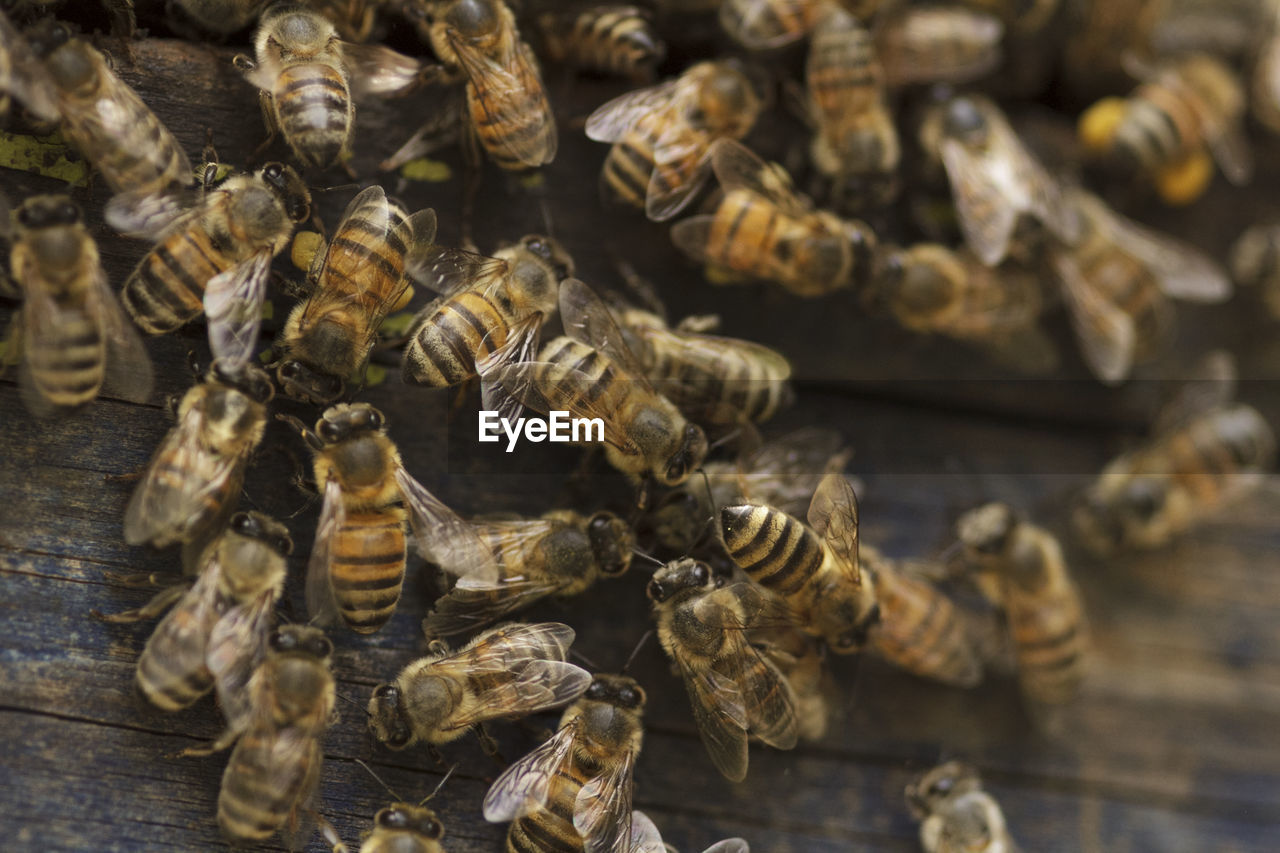 Close-up of honey bees