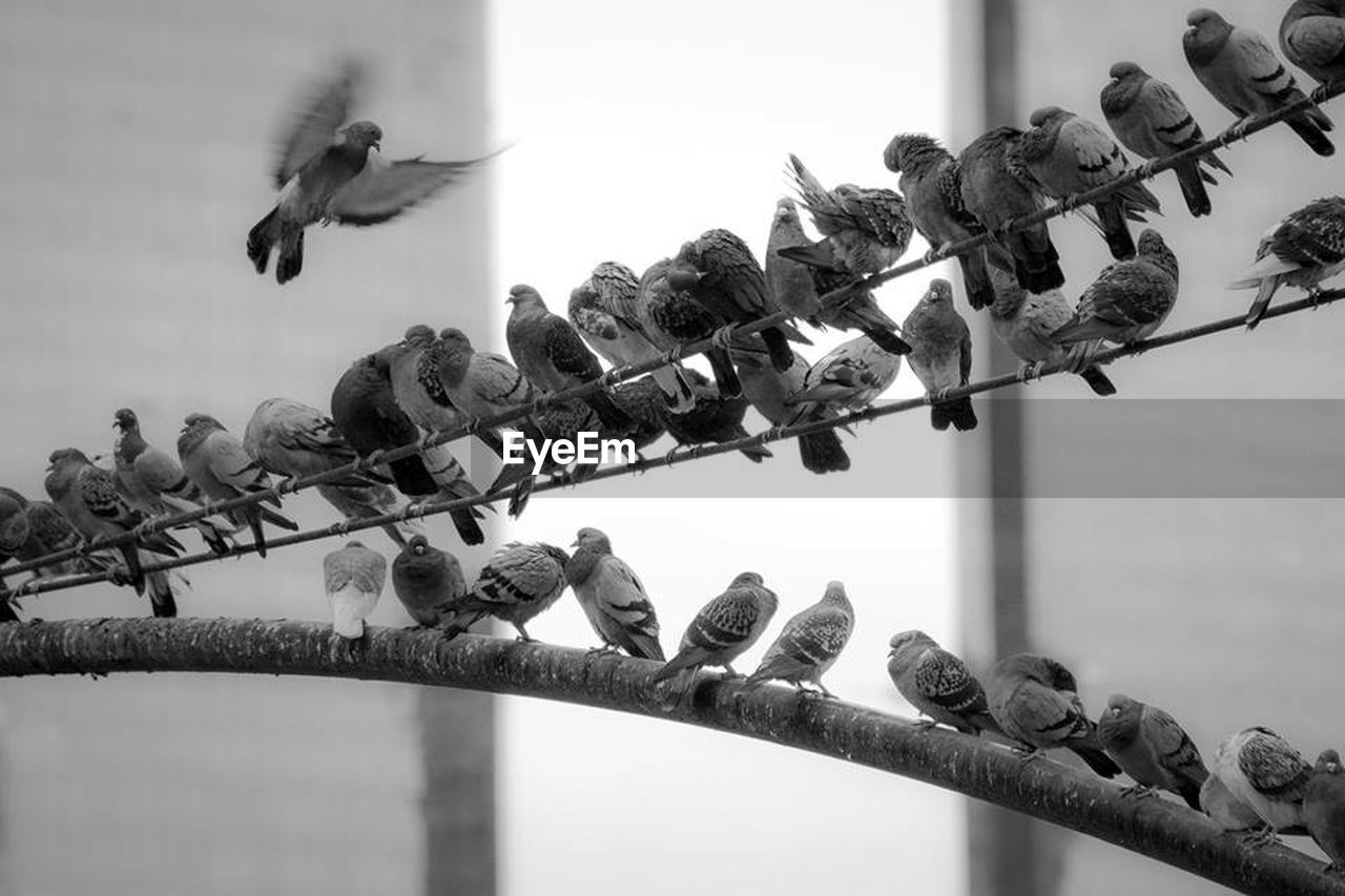 bird, large group of animals, animals in the wild, in a row, animal themes, no people, day, outdoors, low angle view, flock of birds, animal wildlife, hanging, perching, nature, clear sky, spread wings, sky