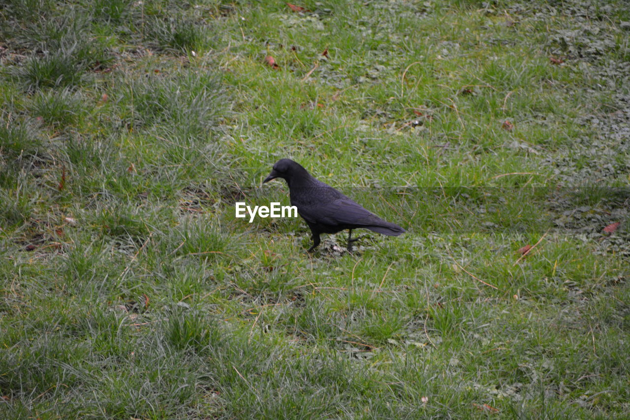 bird, one animal, animal themes, grass, animals in the wild, nature, crow, outdoors, day, no people, raven - bird, perching