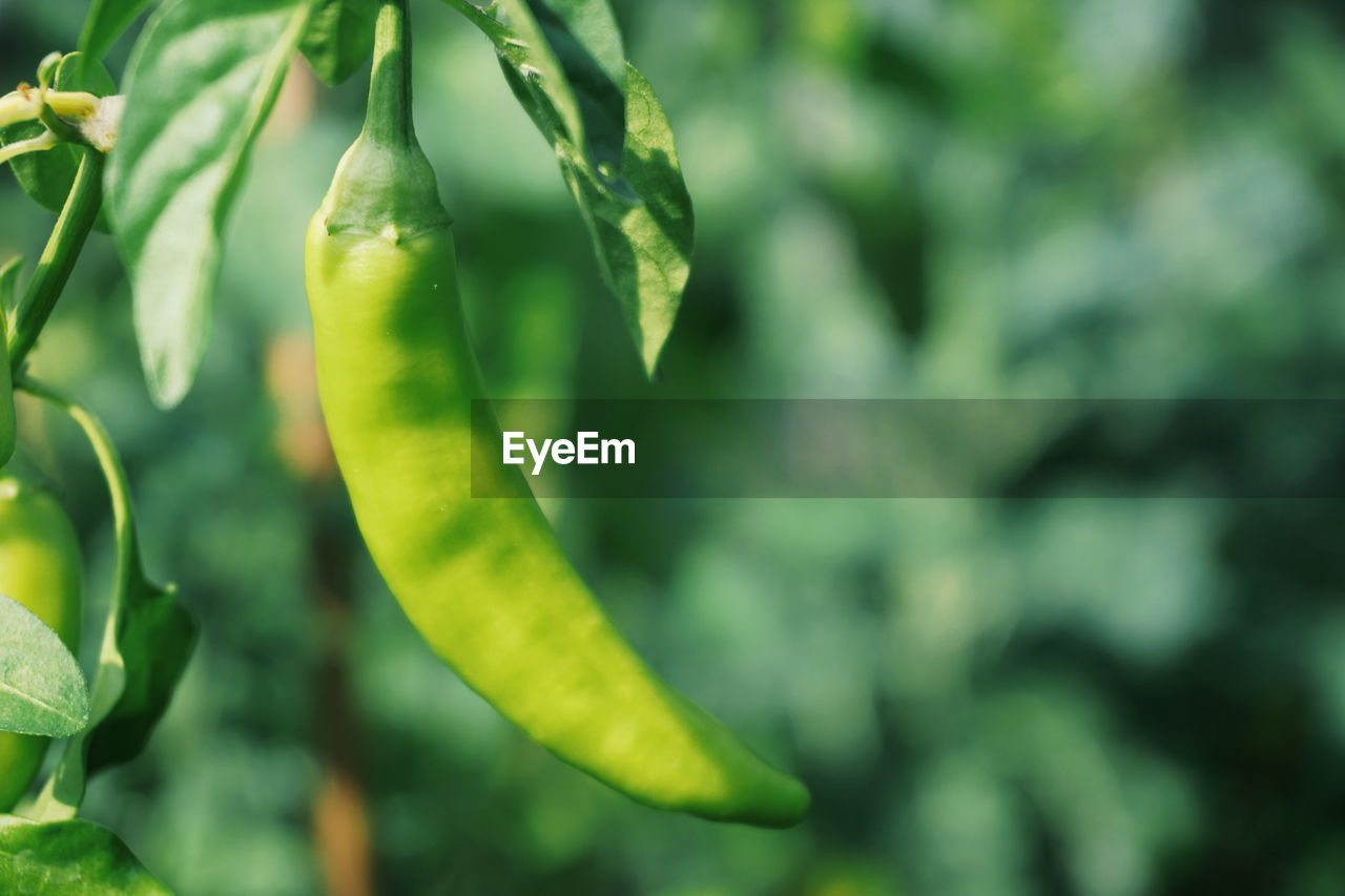 Close-Up Of Green Chili Pepper Hanging On Plant