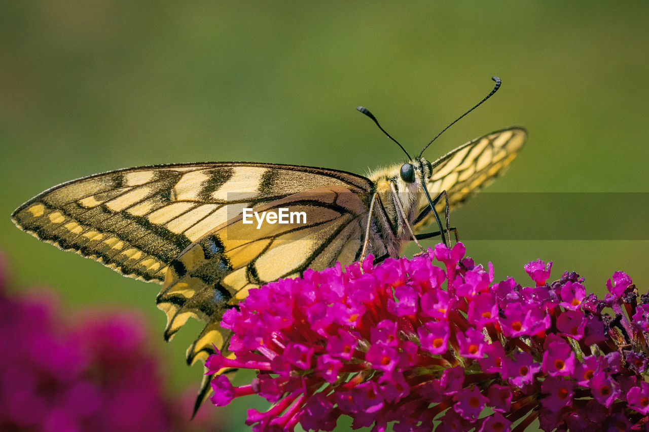 flower, insect, flowering plant, invertebrate, animal wildlife, animal wing, butterfly - insect, beauty in nature, animal themes, animal, fragility, plant, animals in the wild, one animal, vulnerability, petal, freshness, close-up, flower head, nature, pollination, no people, purple, pink color, outdoors, butterfly