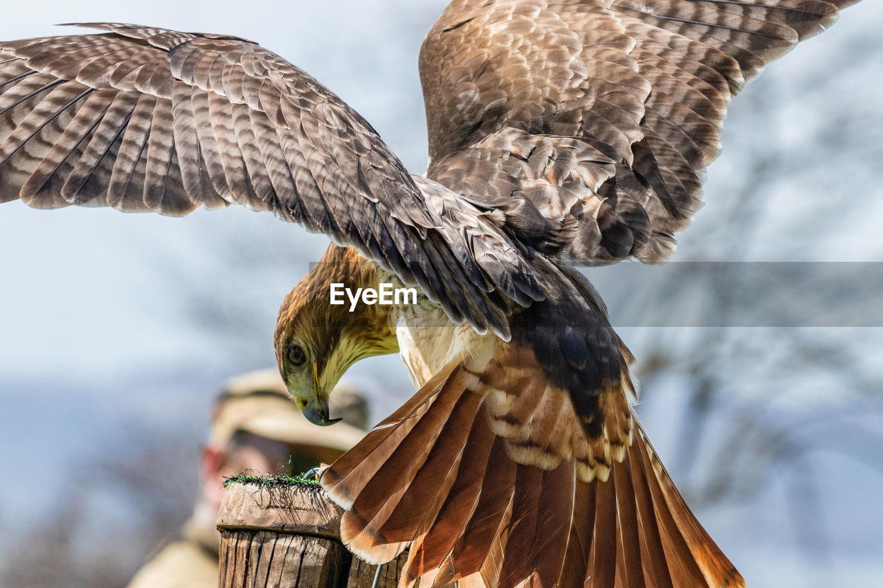 Close-up of red-tailed hawk