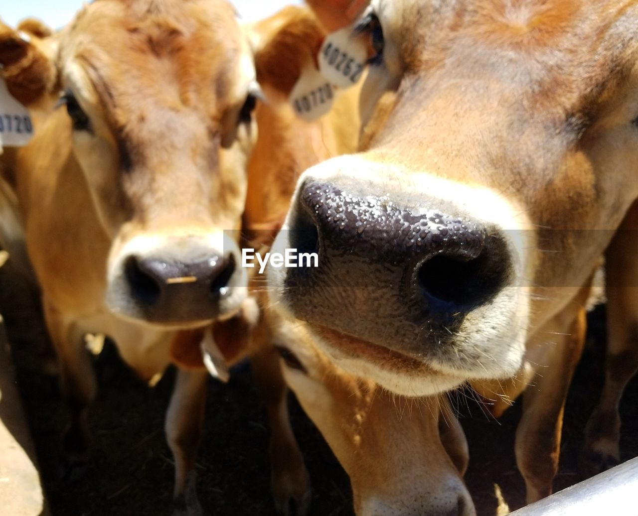 animal themes, animal, mammal, group of animals, domestic animals, domestic, pets, vertebrate, livestock, cow, animal body part, close-up, two animals, cattle, no people, animal head, day, looking at camera, outdoors, snout, herbivorous, animal nose