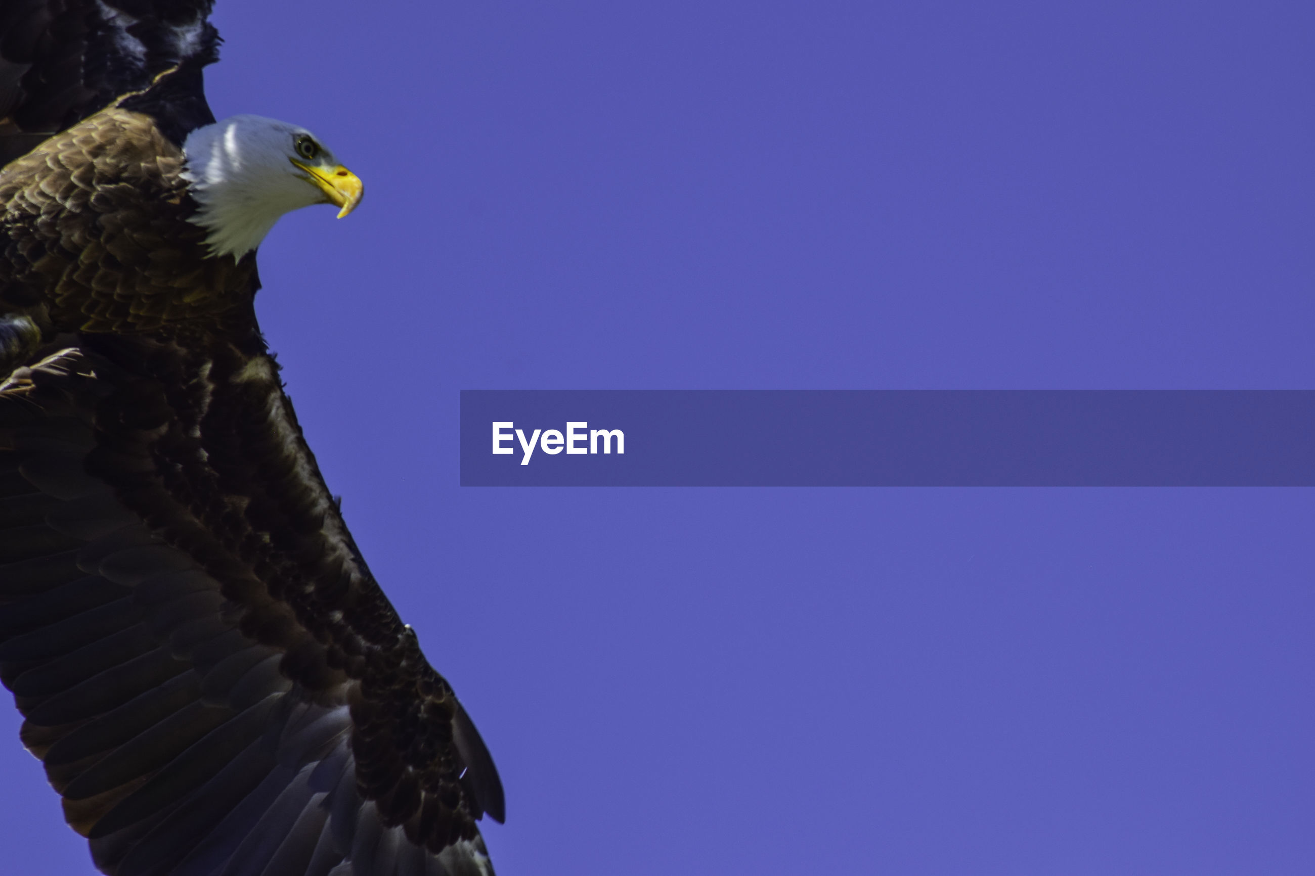 LOW ANGLE VIEW OF EAGLE PERCHING ON A CLEAR BLUE SKY