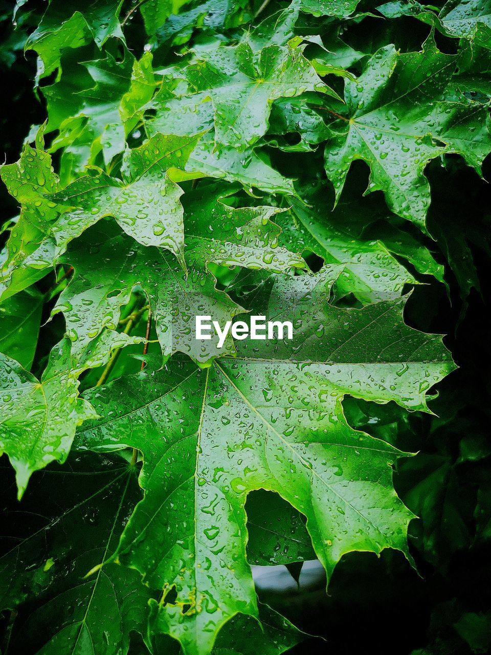 leaf, plant part, green color, growth, plant, drop, water, nature, wet, beauty in nature, close-up, day, no people, outdoors, freshness, leaves, rain, dew, raindrop, rainy season, purity