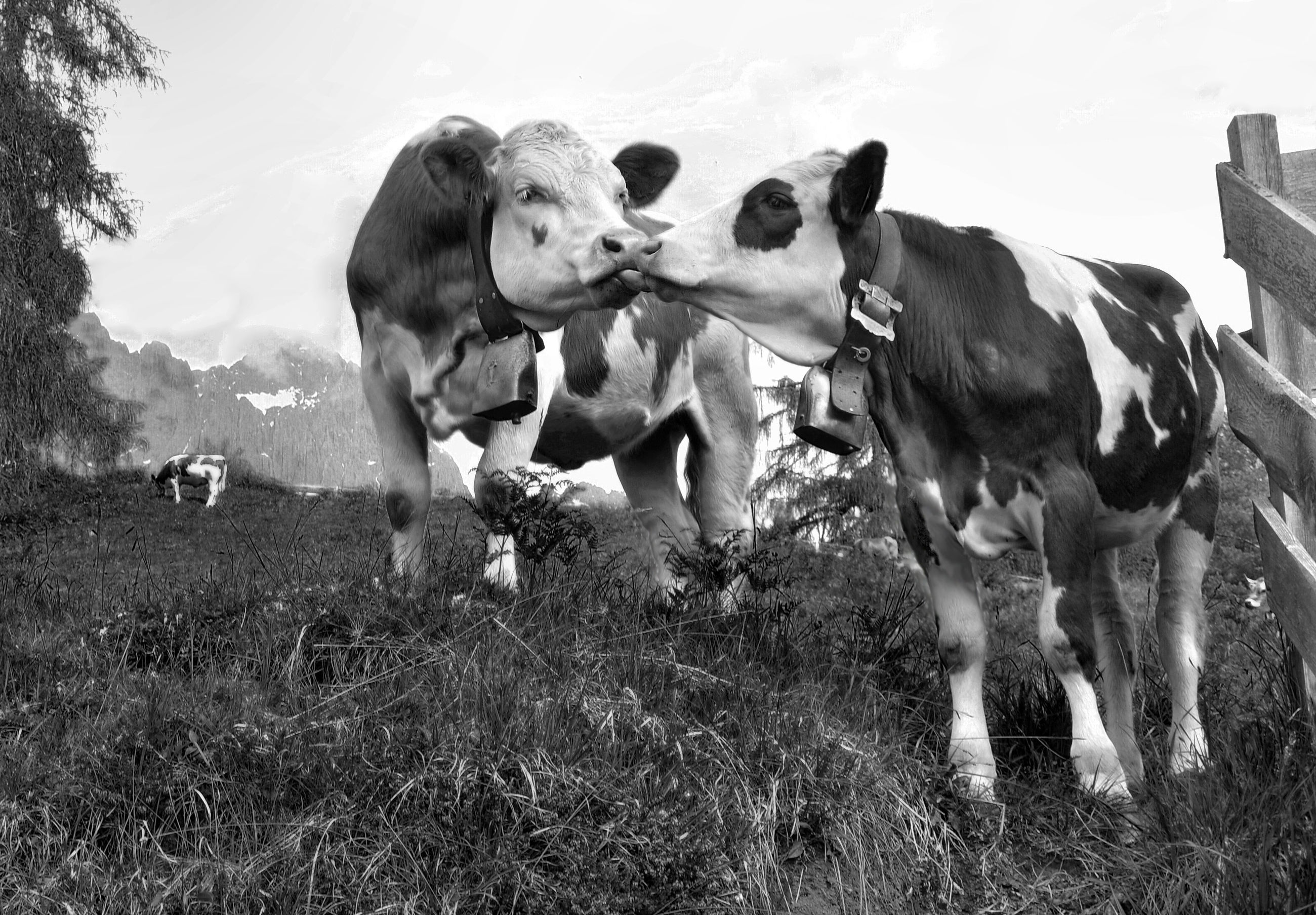 Cows kissing on field