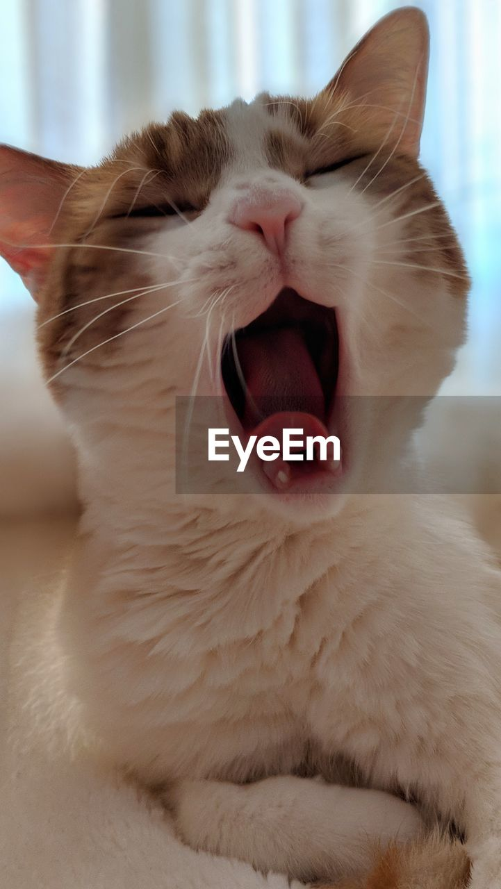 pets, domestic, domestic animals, mammal, animal themes, animal, one animal, cat, domestic cat, mouth open, vertebrate, mouth, feline, facial expression, yawning, close-up, whisker, indoors, home interior, animal body part, no people, animal tongue, animal mouth