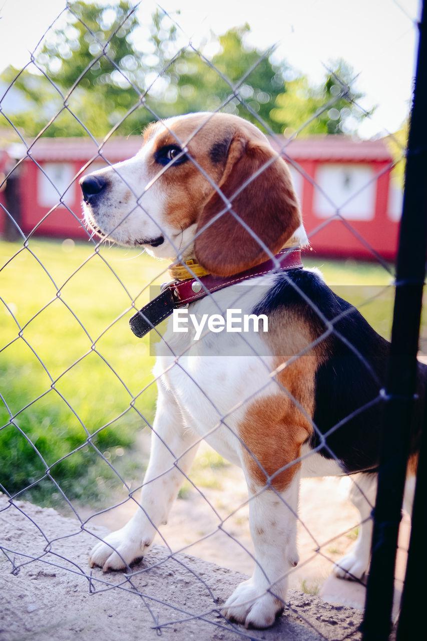 dog, pets, domestic animals, mammal, animal themes, one animal, day, no people, outdoors, tree, beagle, close-up