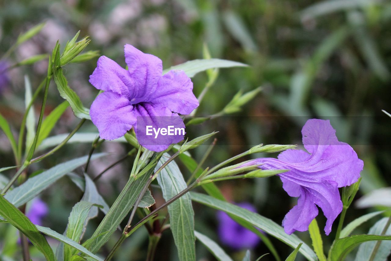 flower, growth, fragility, nature, plant, petal, beauty in nature, day, purple, focus on foreground, no people, flower head, freshness, outdoors, close-up, green color, leaf, blooming