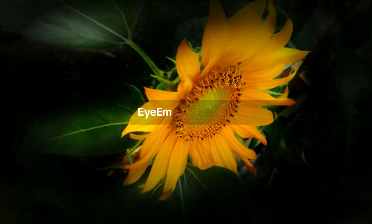 flower, yellow, petal, growth, fragility, flower head, nature, beauty in nature, plant, freshness, no people, blooming, close-up, sunflower, outdoors, day